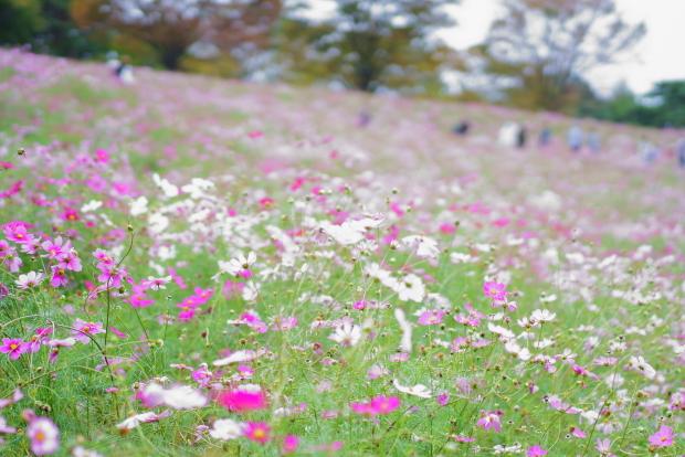 昭和記念公園コスモス201900080343