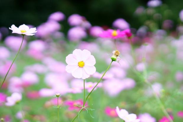 昭和記念公園コスモス201900080357
