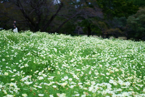 昭和記念公園コスモス201900080381