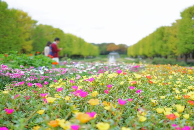 昭和記念公園コスモス201900080332