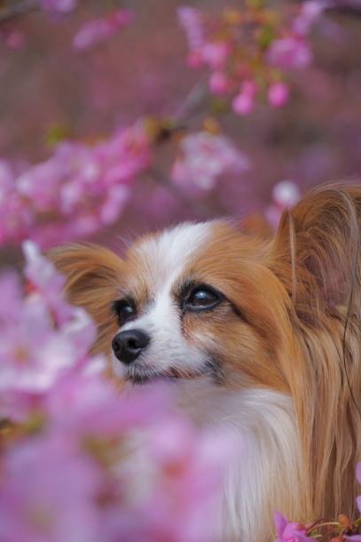 早咲き桜00070578