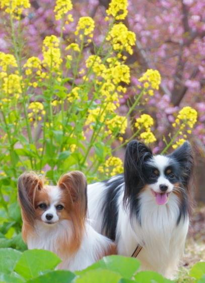 早咲き桜00070656