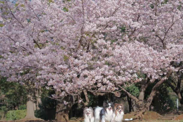 ふるさと公園玉縄桜00072344
