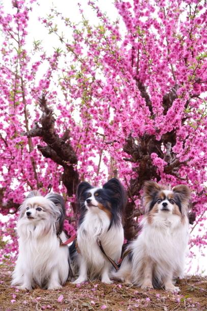 銀座の桜00072601