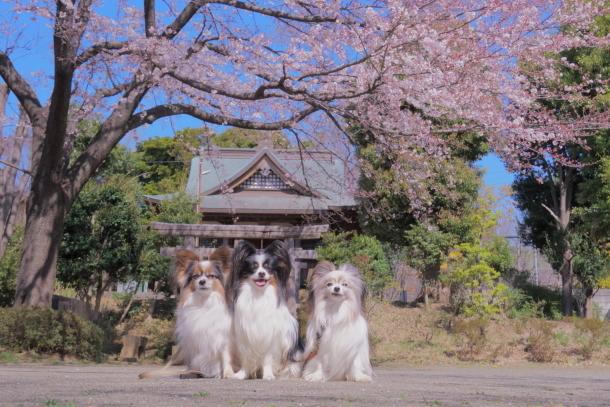 近所の桜201900075127