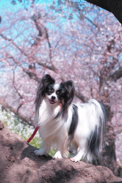 河川敷の桜201900075593