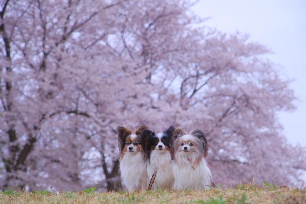 エルの桜3パぴ00076164