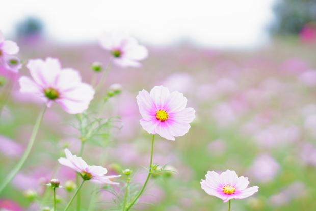 昭和記念公園コスモス201900080347