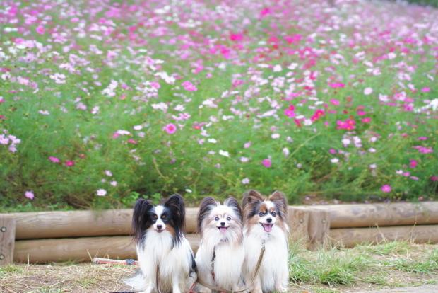 昭和記念公園コスモス201900080348