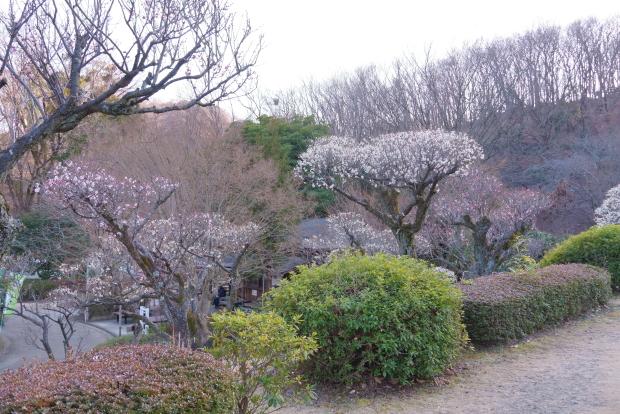 薬師池公園カワセミ梅00083881