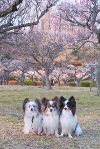 薬師池公園カワセミ梅00083882