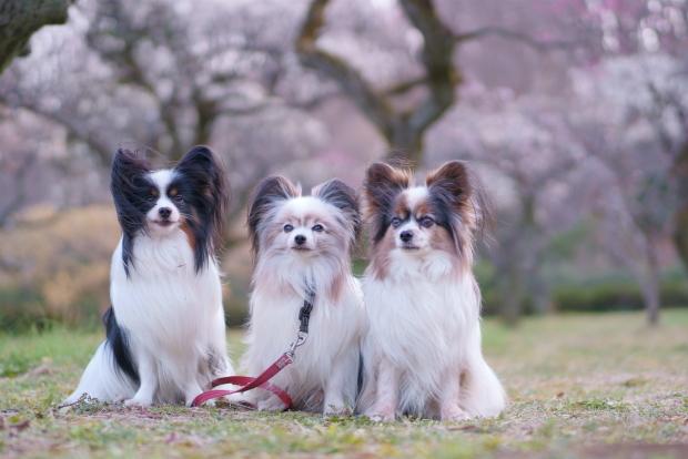 薬師池公園カワセミ梅00083895