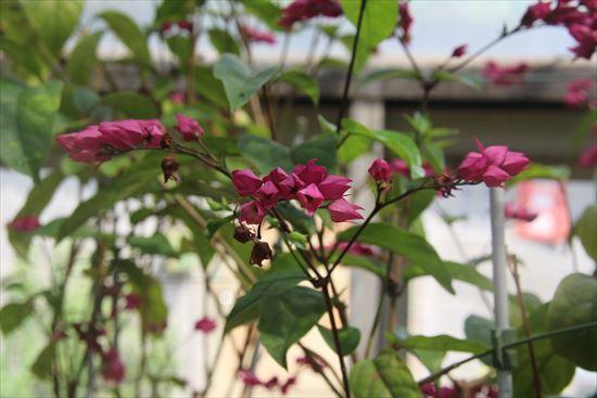 紅花源平草場1
