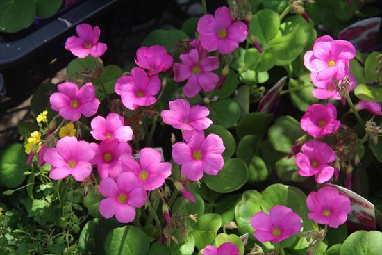 花カタバミ1