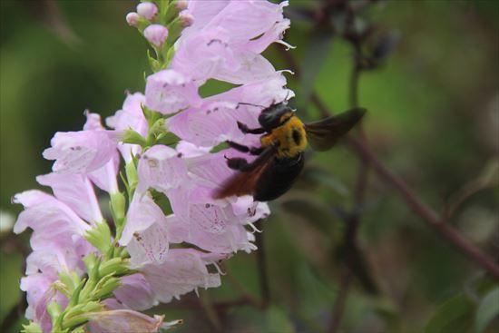 キムネクマバチ