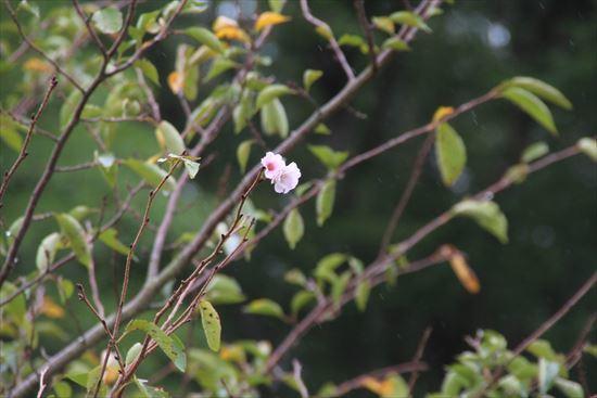 アーコレイド桜