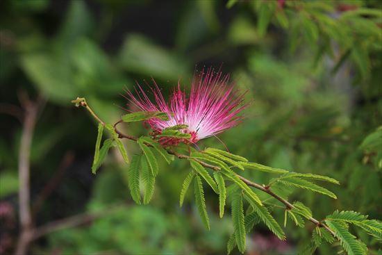 雲南ネムの木
