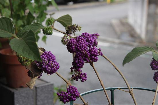 コムラサキ 園芸種1