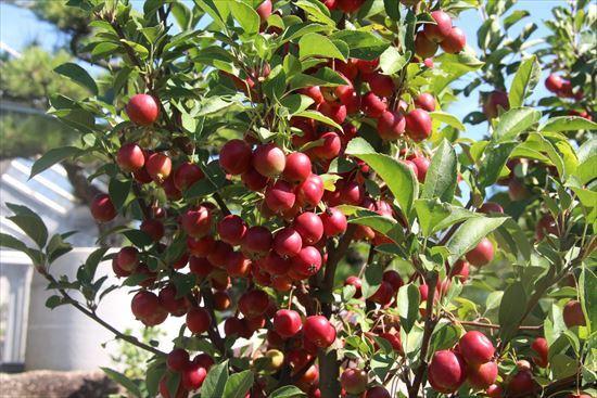 ヒメリンゴ1