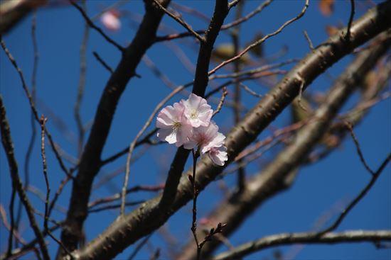 アーコレイド桜1