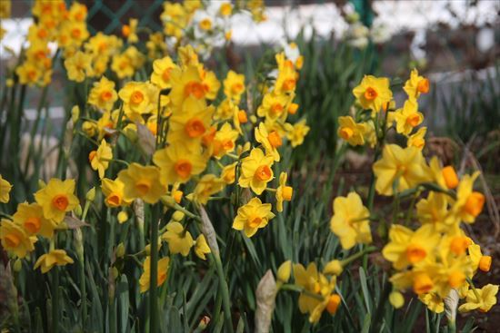 房咲き水仙 黄1
