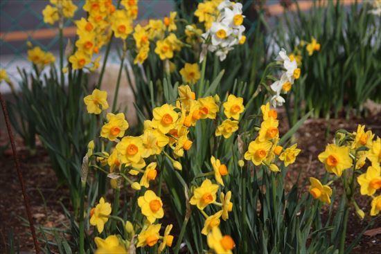 房咲き水仙 黄