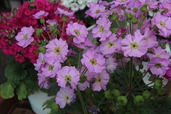 プリムラ・夢桜2