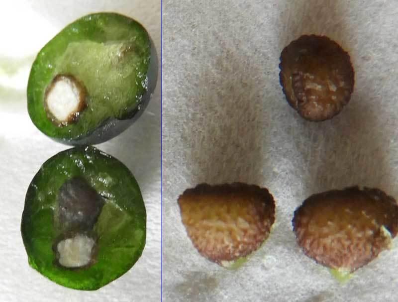 アマチャヅルの種子