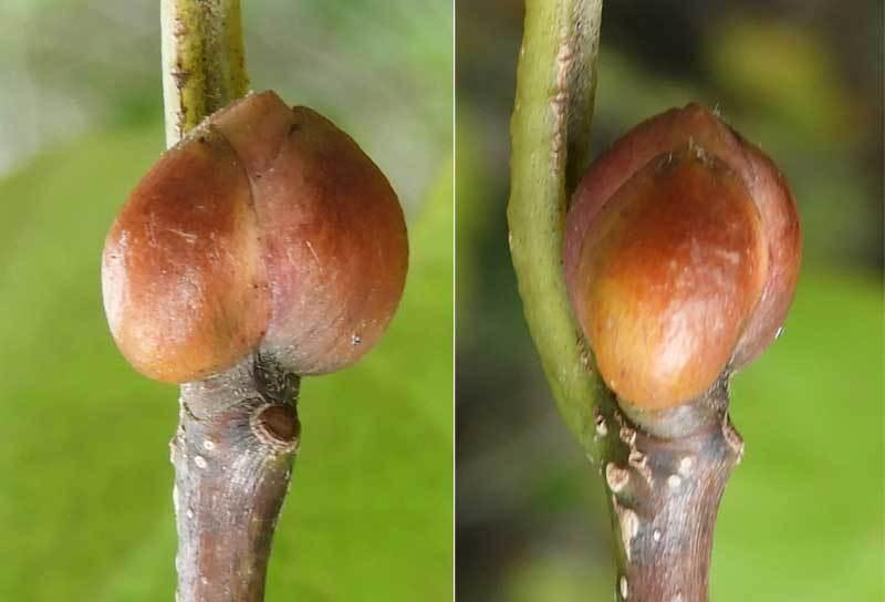 ダンコウバイ花芽