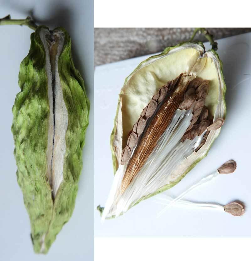 ガガイモの袋果と種子