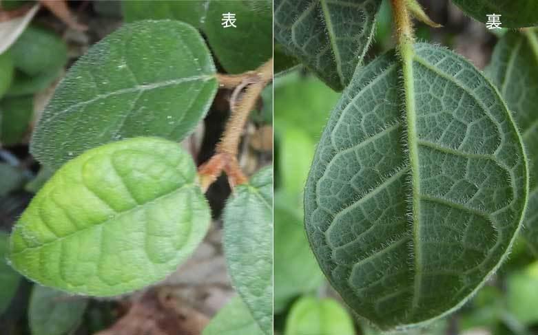 ヒメイタビ葉