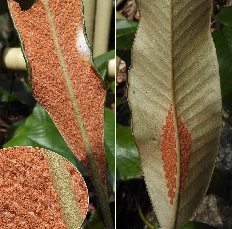ヒトツバ胞子葉
