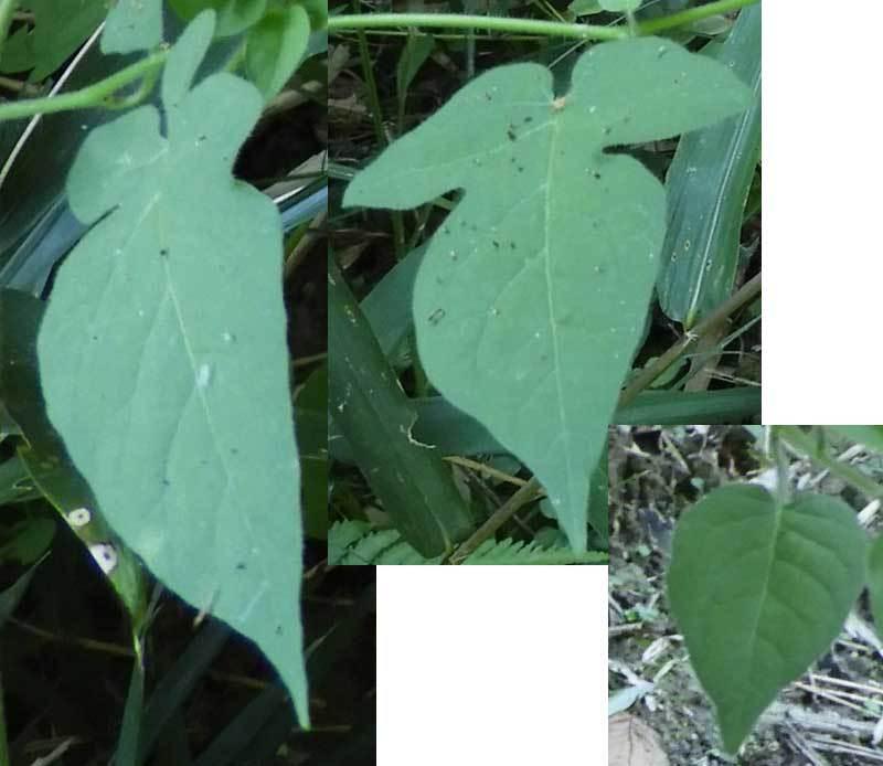 ヒヨドリジョウゴ葉