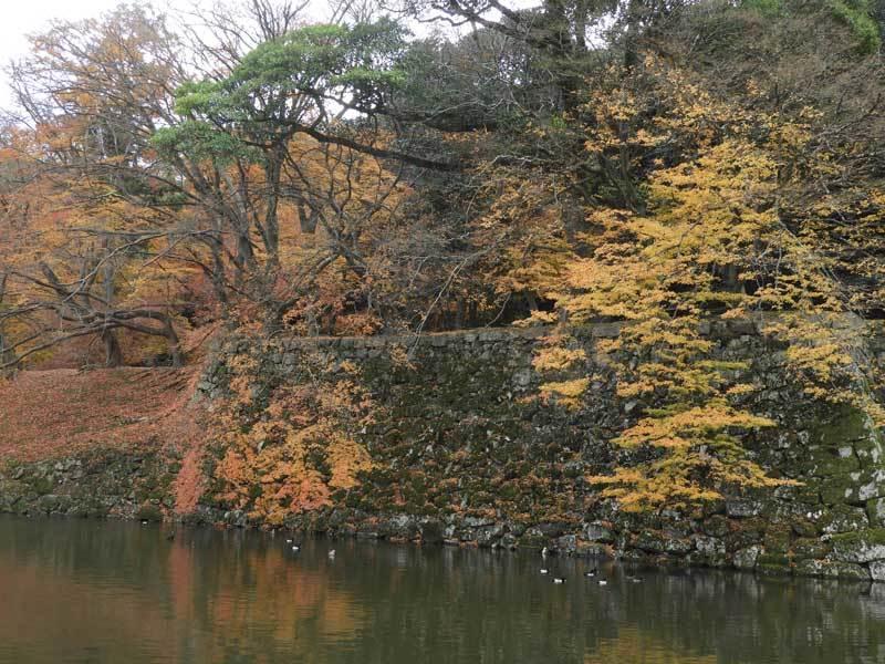 彦根城の堀 キンクロハジロ