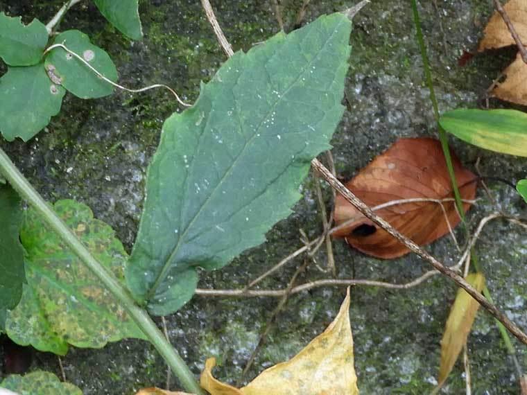 イナカギクの葉