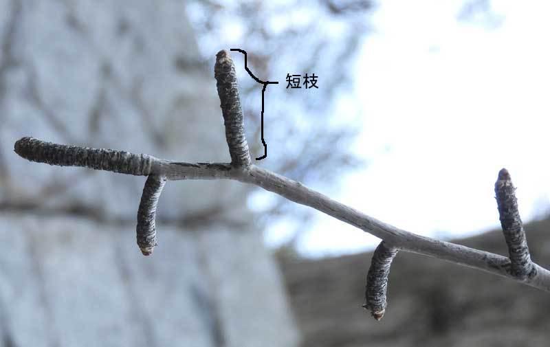 イチョウの短枝