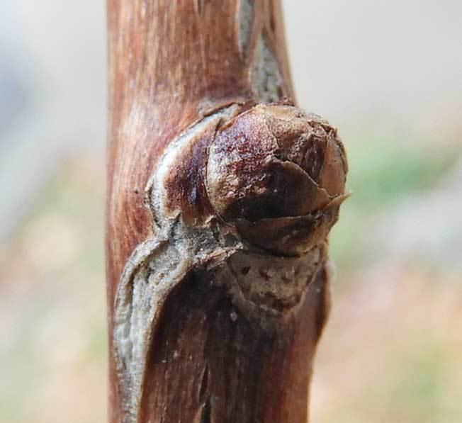 イチョウ側芽