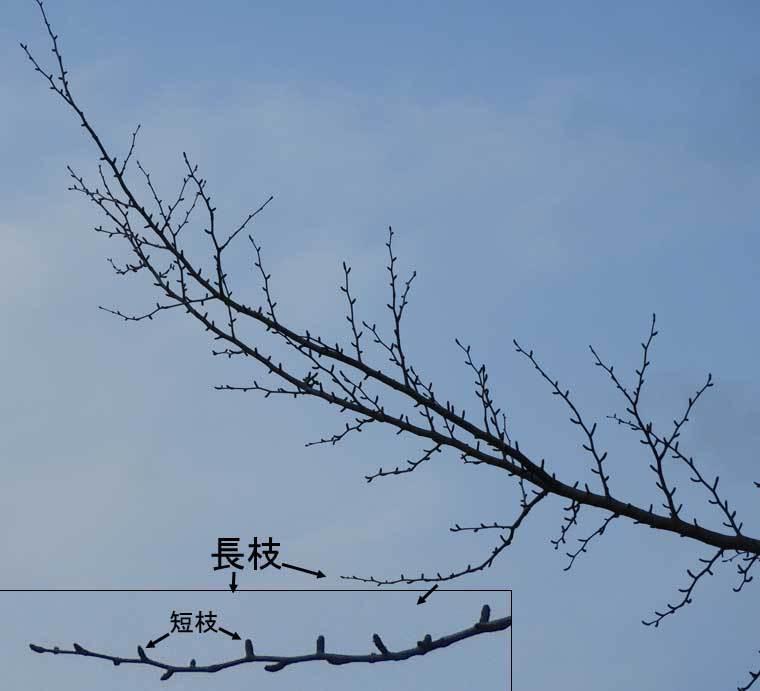 イチョウの長枝