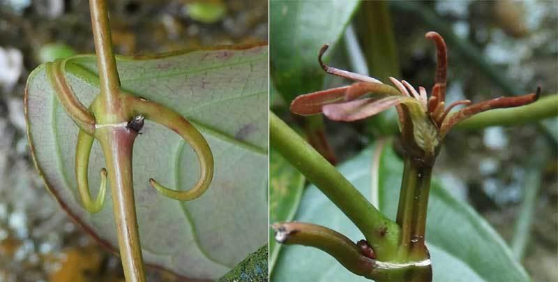 カギカズラの鉤と新芽