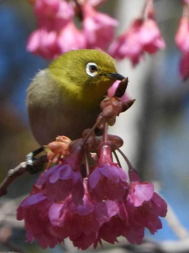 寒緋桜メジロ