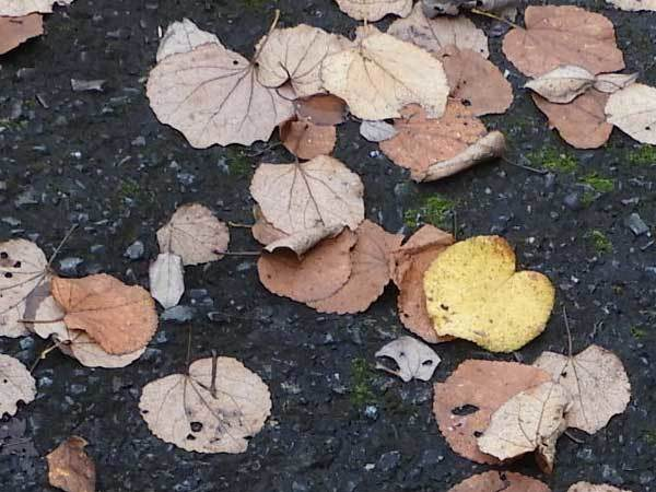 カツラの落ち葉