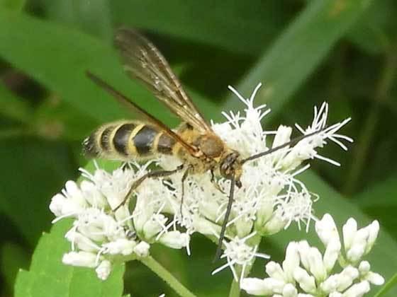 キンケハラナガツチバチ