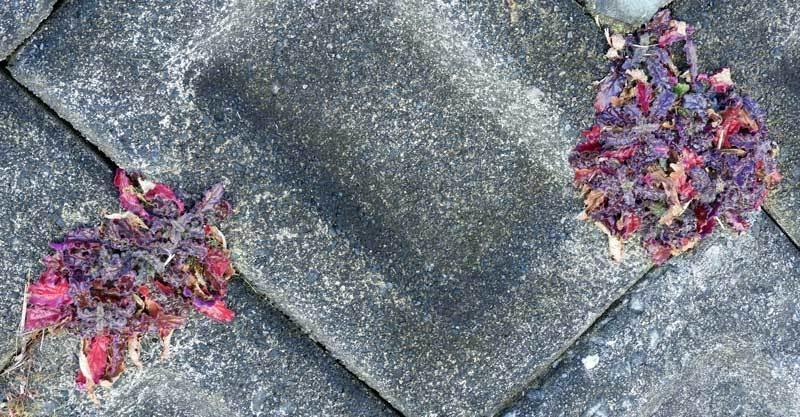 キランソウの紅葉
