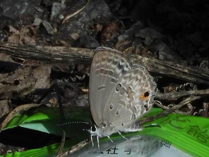 クロマダラソテツシジミ低温期型♀