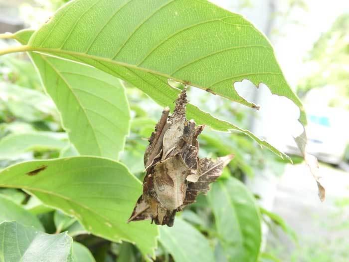 オオミノガみの虫