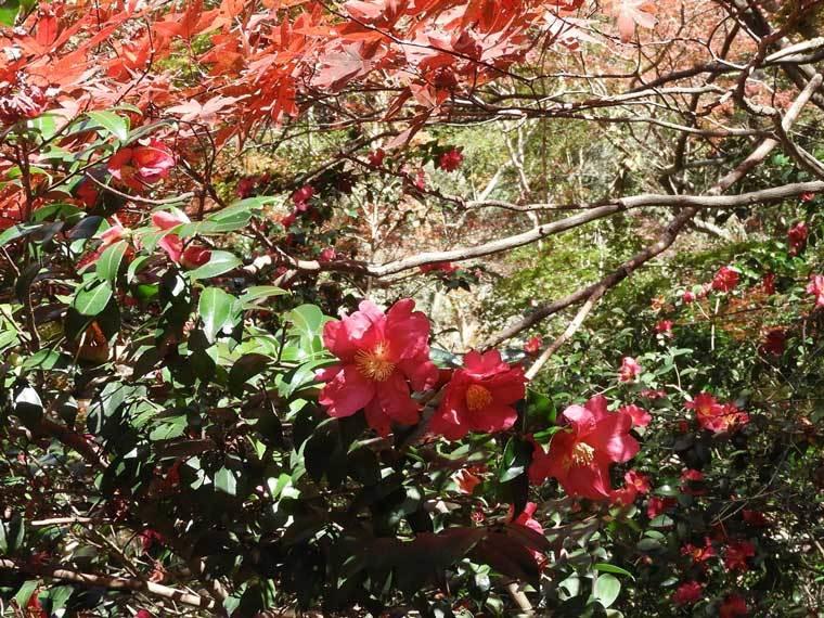 サザンカ赤花