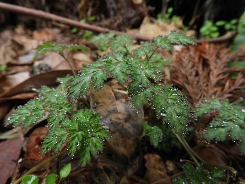 ムラサキケマンの葉から溢泌