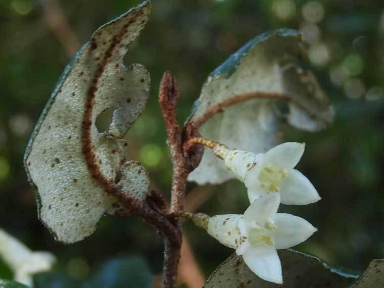 ナワシログミの花