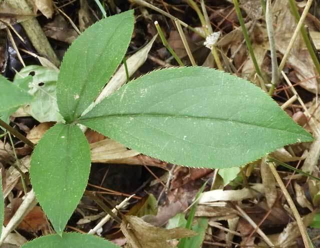 オケラの葉