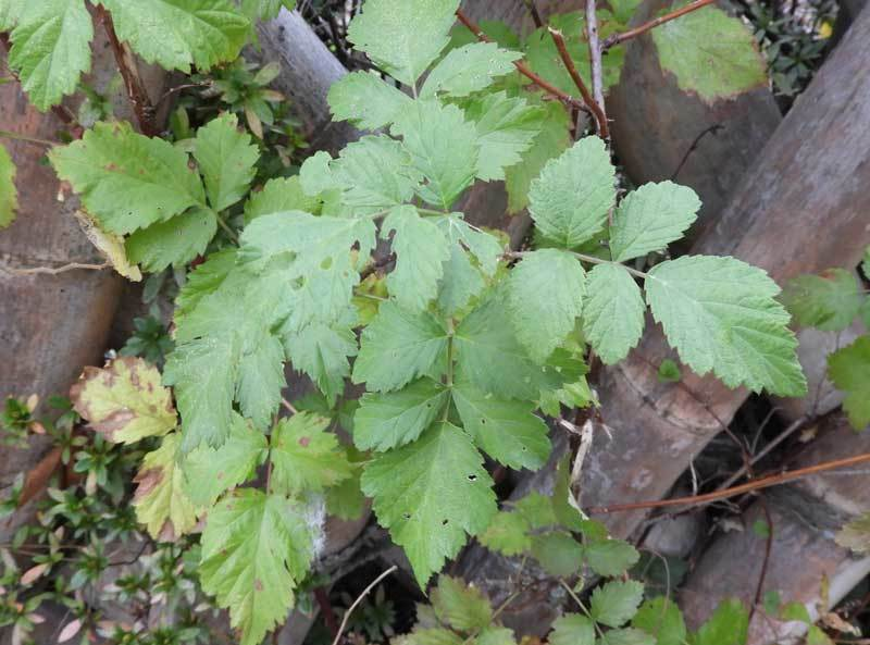 オオトックリイチゴの葉